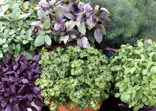 Jak pěstovat bylinky v nádobách? Je čas sít a sázet zelené koření - bazalka, petrželka, kopr a majoránka