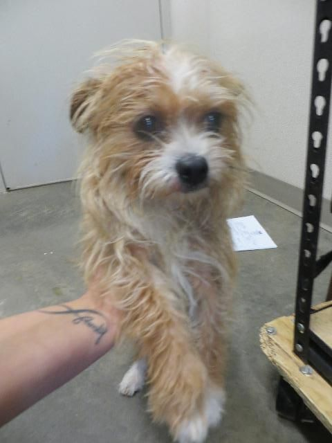 Meet Teddy, an adoptable Yorkshire Terrier Yorkie looking for a forever home. If you're looking for a new pet to adopt or want information on how to get involved with adoptable pets, Petfinder.com is a great resource.