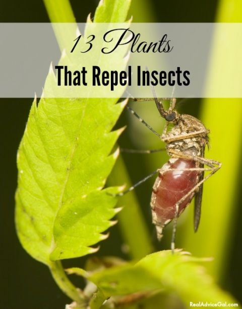 1000 images about pest repelling plants on pinterest plants that repel bugs plants that. Black Bedroom Furniture Sets. Home Design Ideas