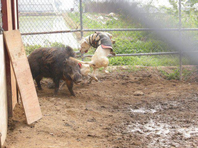 #Dogo Argentino vs boar | cães de grande porte ...