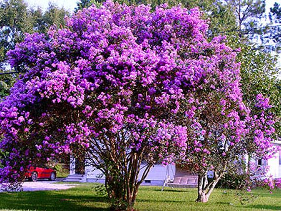 Crepe Myrtle Tree.....I want to get a purple one