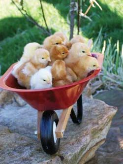 wheelbarrow full of chicks