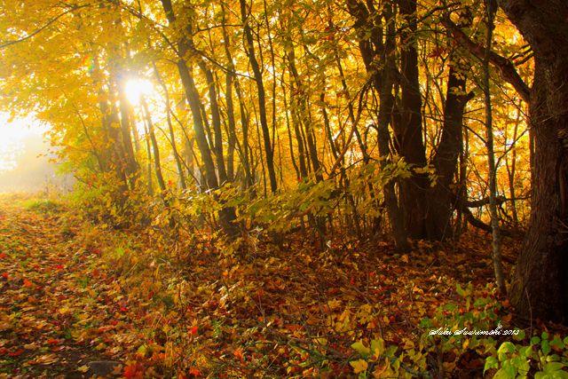 Vaahterametsikkö, Maple forest in Finland