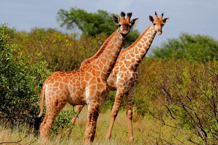 african giraffe images - Yahoo Search Results Yahoo Image Search Results