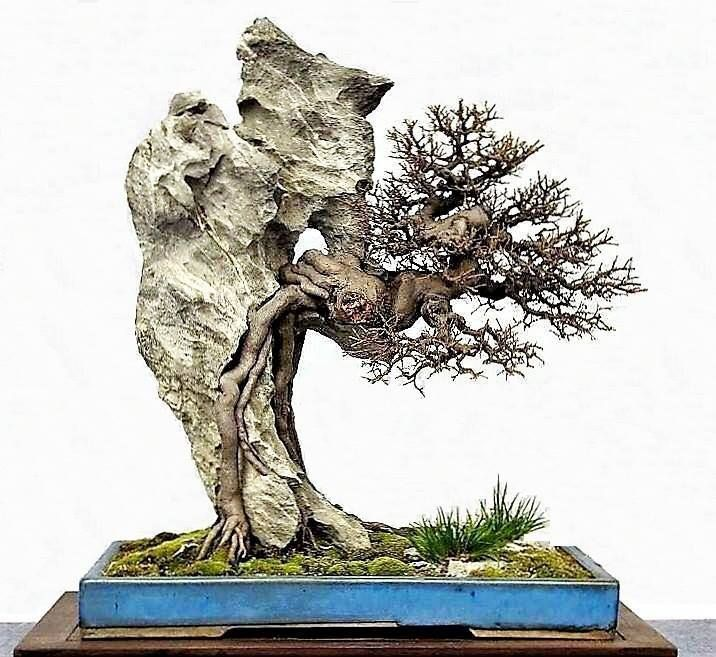 This incredible bonsai is a very unique root over rock style...it is looped through a hole in the underside of the rock. It is also clinging to rock style. You can also see the detail of the root paths and the ramification very well because it is defoliated.