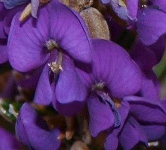 Purple Hovea flower Tasmanian Native Plant