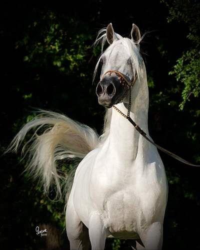 Arabian Horse Stallions   Mishaal HP covers the World!   Egyptian Arabian Horses - Arabians LTD.
