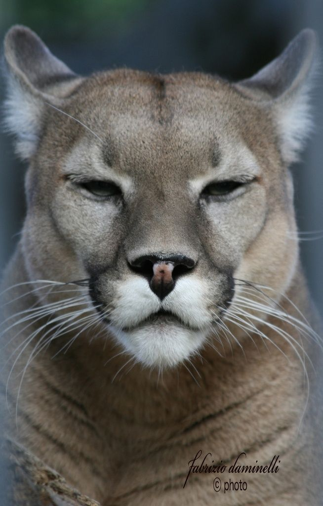 Puma: Faces of the Planet!