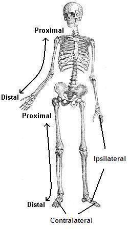 Homolateral se refiere a las cosas en el mismo lado del cuerpo, la derecha o la izquierda según lo definido por el plano medio. Así que el brazo izquierdo y la pierna izquierda de una persona son homolaterales. Si una persona tiene una erupción solamente en el lado derecho de su torso y cabeza, la …