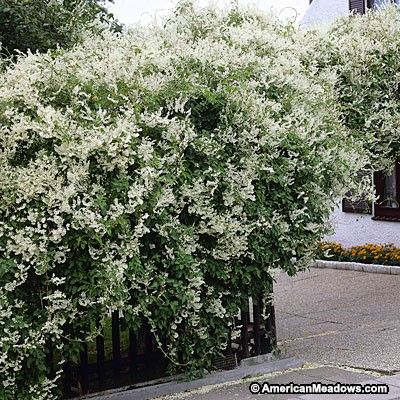 Easy-to-grow Silver Lace vine is vigorous, fast-growing, twining and has lots of fragrant, creamy-white flowers. An elegant, big statement in the summer garden. (Polygonum aubertii)