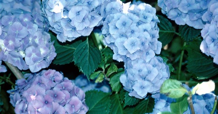 Los arbustos de hortensias producen racimos grandes de vistosas flores desde la mitad del verano al otoño. Este arbusto resistente prospera en las zonas de resistencia 3 a la 9 ...