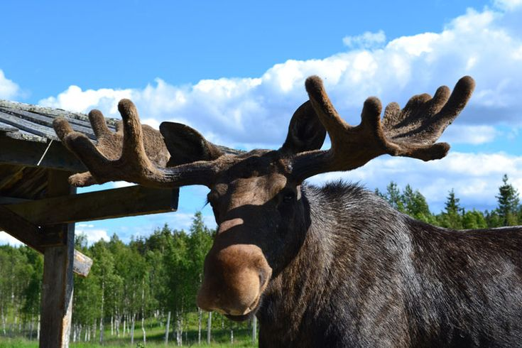 Sweden's wildlife, like elk, are a core part of local life in Umeå. Image courtesy of Umeå 2014.