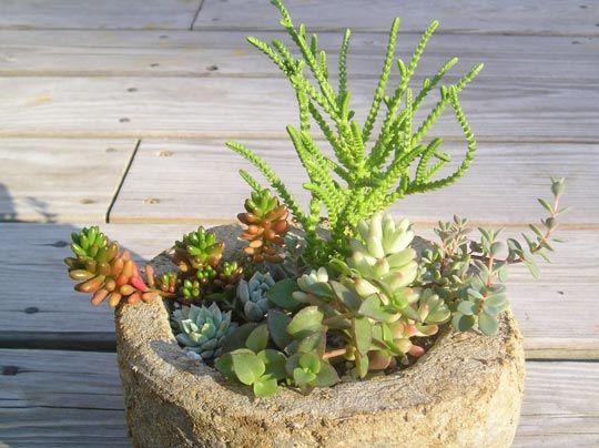.  How to get starts off cactus: House Plants, Idea, Succulent Plants, Cacti And Succulents, Callus Succulents, Grow Succulents, Garden Plants, Cactus
