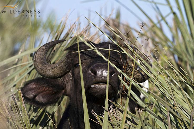 Little Mombo - You can expect to see large herds of buffalo, elephant, white rhino, giraffe, blue wildebeest, Burchell's zebra and much more. #Africa #Safari #Botswana