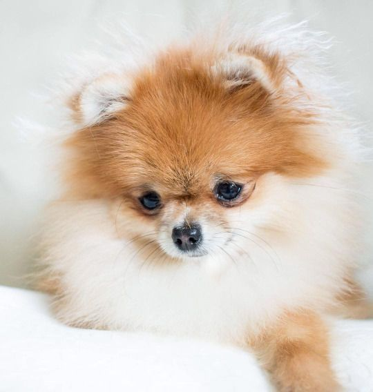 There's a hair on my nose #Pomeranian