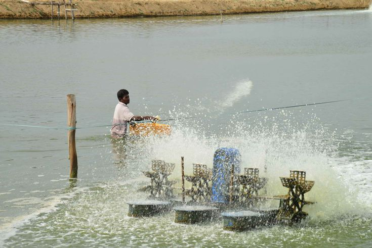 Process of Prawns Cultivation