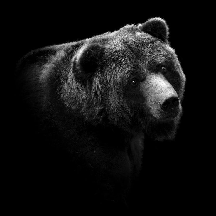 Best Critters Images On Pinterest Bear Cubs Bear Photos And - Powerful and intimate black white animal portraits by luke holas