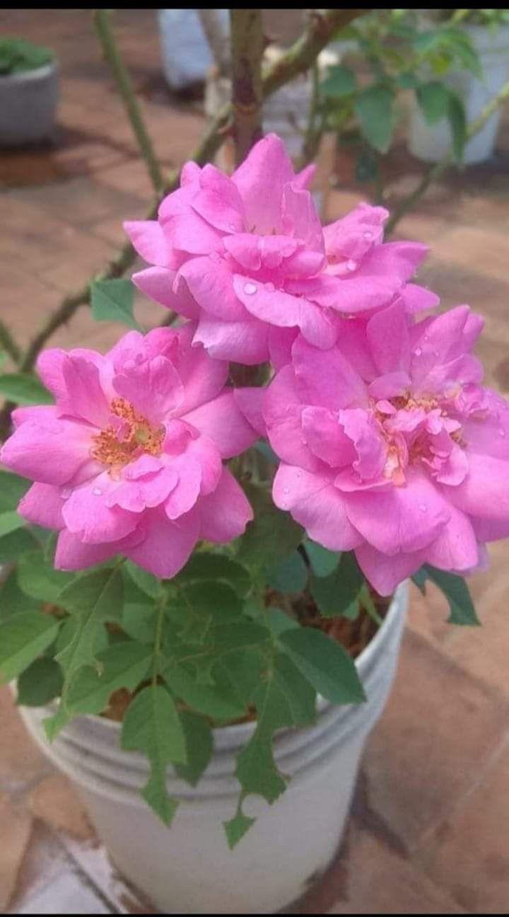 Pin By Nair Vanaja On Garden Pinks In 2020 Beautiful Flowers Backyard Landscaping Designs Flowers