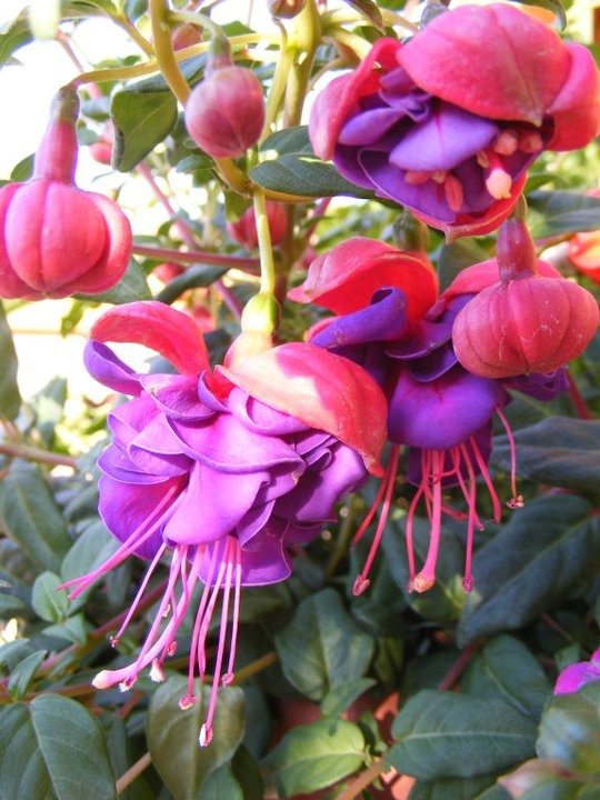 Fushia is my favorite hanging basket because it is lovely and does well on the porch hooks.  The red and purple is my favorite.