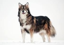 Funny fact and picture about dogs look like dogs look like wolves. Follow me for more funny.  #North Inuit Dog #Siberian Husky #Alaskan Malamute #German Shepherds #Wolf Dog Blends #Czechoslovakian Wolfdog #Canadian Eskimo Dog #Pomsky #Alusky #Finnish Lapphund #Tamaskan #Utonagan #Saarloos Wolfdog #Kugsha #Samoyed #Greenland Pet #Seppala Siberian Sleddog #Alaskan Klee Kai #Shikoku