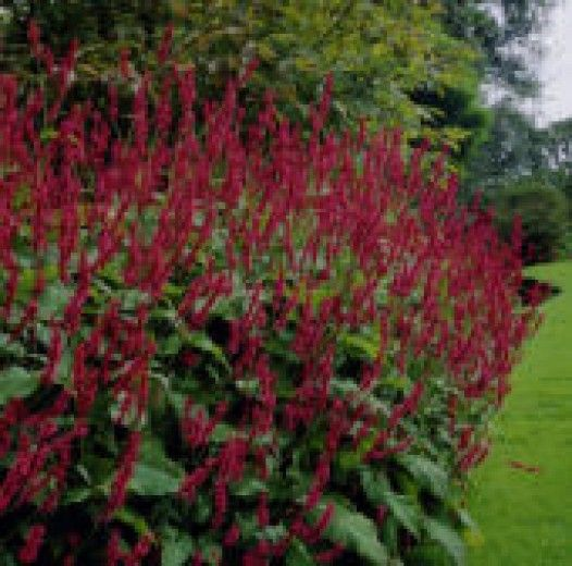 Persicaria amplexicaulis 'Blackfield' - mooi met phlox