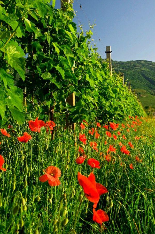 Au pied des vignes du Prosecco