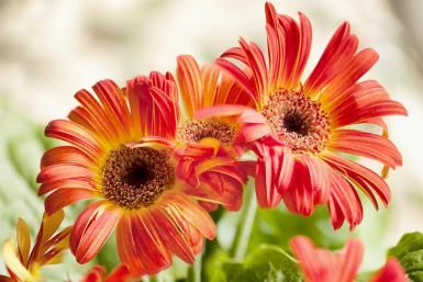 Gerbera jamesonii, Transvaal daisy - Maria Mosolova/Photodisc/Getty Images | Gerbera Daisy Flowers - Tropical, Colorful Accents