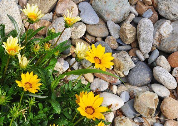 Yellow flowers, Photography, home decor, travel photography, Halkidiki, Greece, wall decor, Fine Art