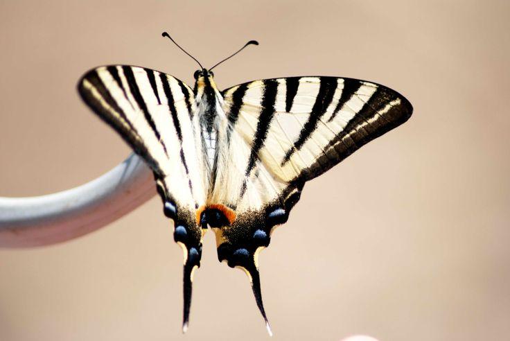 Splendida farfalla