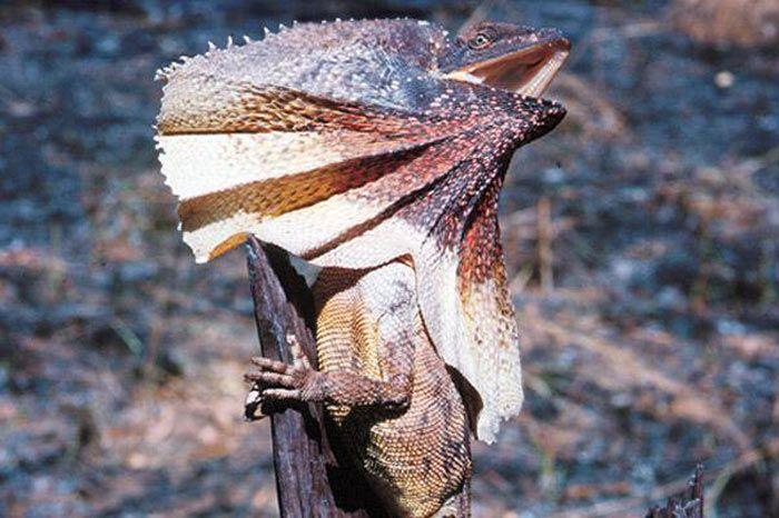 Volan-boyunlu Kertenkele  Boynunun etrafında, tehdit edildiğinde ortaya çıkan, geniş, yuvarlak bir yaka gibi yaydığı deriden bir gerdanlık vardır.