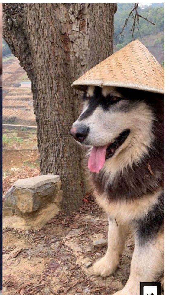 Dawang Animals Dogs Husky
