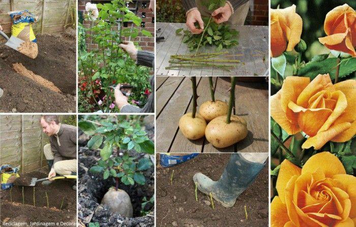 Comment faire pousser une bouture de rose grâce à une pomme de terre