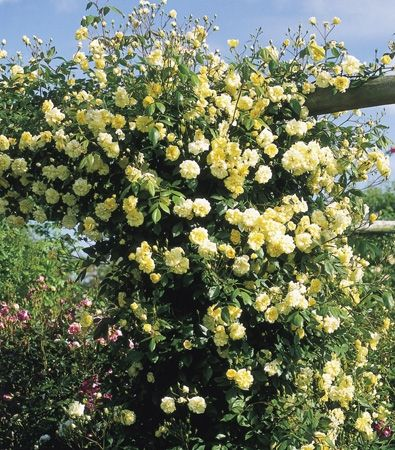 david austin 39 s repeat flowering ramblers malvern hills. Black Bedroom Furniture Sets. Home Design Ideas