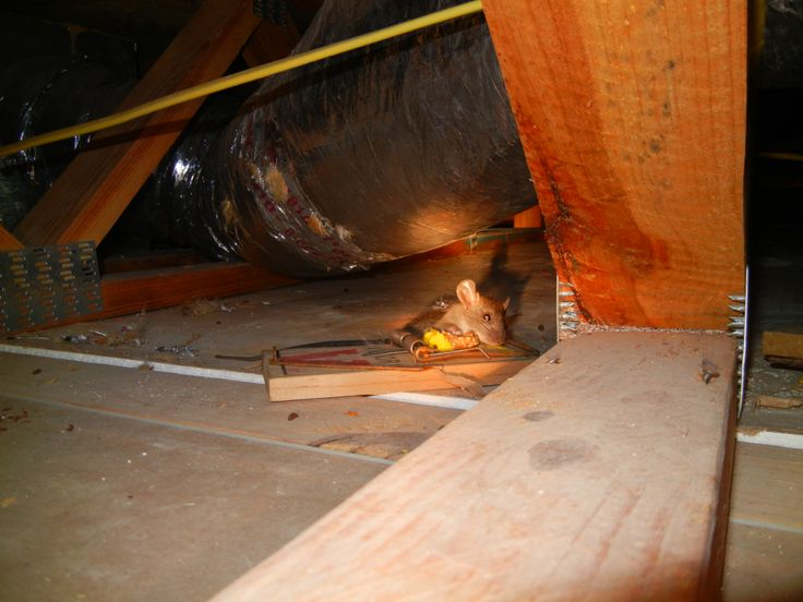 Roof Rat Chewing The Ducking Insulation Had To Catch It