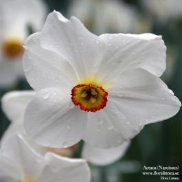 Actaea - Narcissus