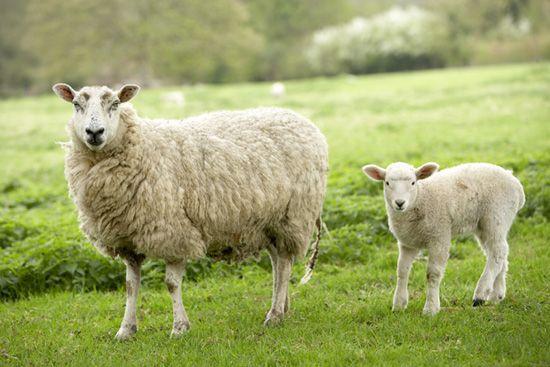 Więcej na: http://puszystaowca.pl/owce/