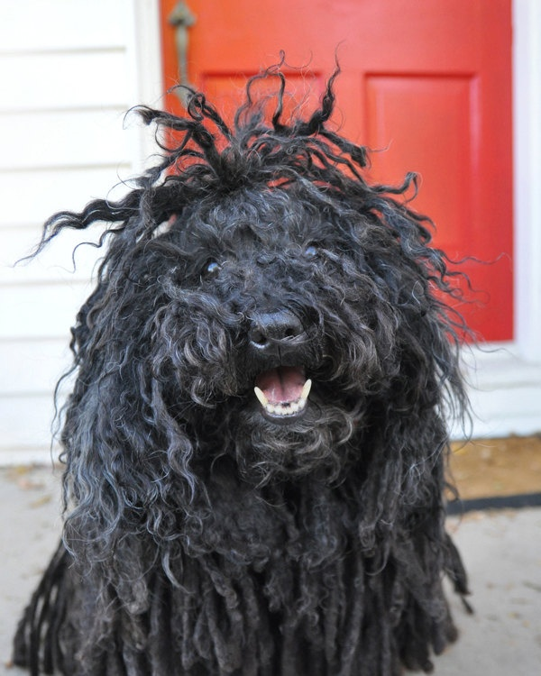 Rasta Puli Dog... I thought this was a corded hair havanese??