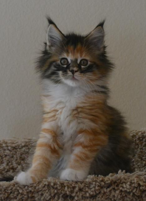 Maine Coon Cats For Sale In Illinois