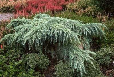 Cedrus deodara 'Feelin Blue' - a small scale weeping conifer with a silver/blue cast perfect for winter!