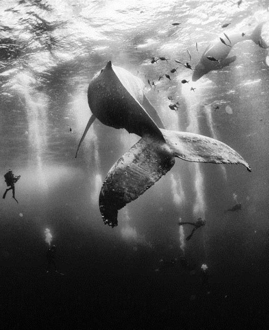 """Wyłoniono zwycięzcę konkursu fotograficznego """"National Geographic Traveler Photo 2015"""". Został nim Anuar Patjane za zdjęcie humbaków z pływającymi obok nurkami. http://www.tvn24.pl/zdjecia/national-geographic-traveler-photo-contest-2015,47155,lista.html"""