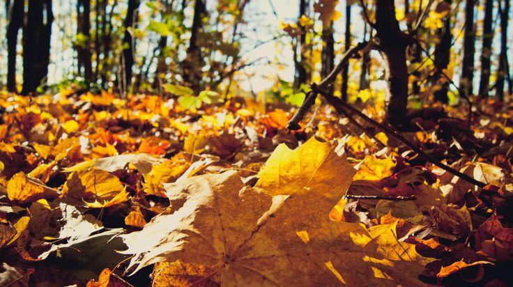 I love this time of year - autumn. In autumn nature shows all its beauty, paints and colors. Maple leaves is a symbol of autumn. Especially beautiful when fallen leaves form a golden carpet.  Обожаю это время года - осень. Осенью природа показывает всю свою красоту, краски и цвета. Кленовые листья это некий символ осени. Особенно красиво, когда опавшие листья образуют золотой ковер.