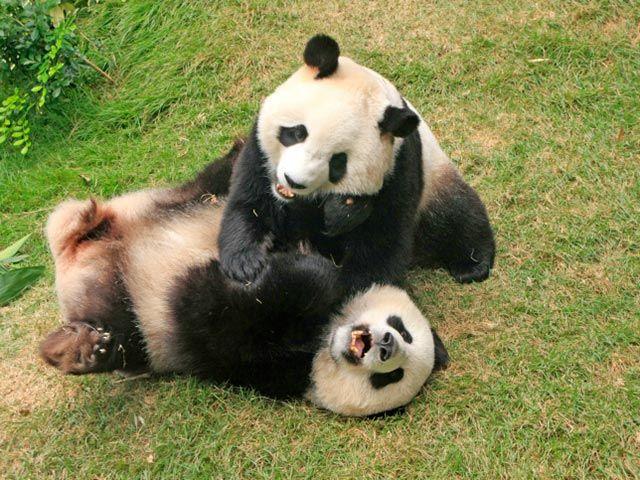 NEWSru.co.il :: Фото :: Гигантские панды