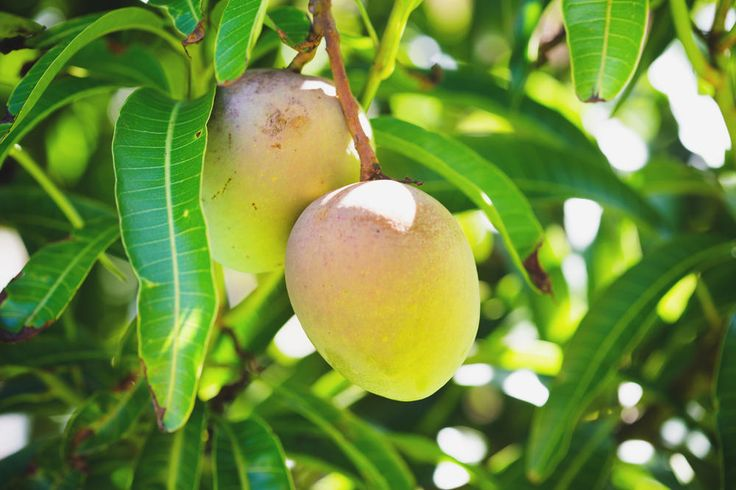Wer Exoten liebt, kommt an der Mango nicht vorbei. Wir erklären, wie Sie einen Mangokern einpflanzen und daraus ein eigenes Mangobäumchen ziehen.