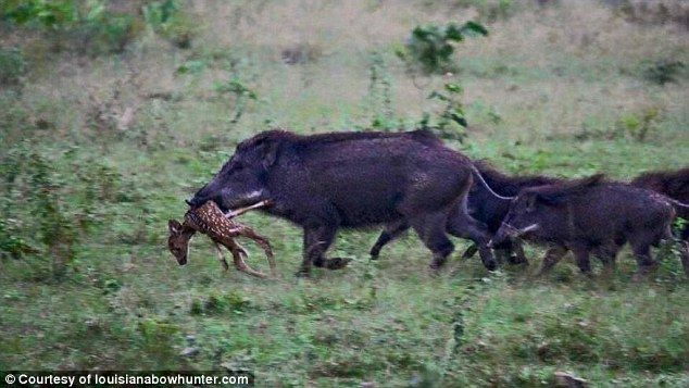 A population boom of feral hogs (pictured) across the US is threatening the deer population as deer hunters face unwanted competition with the wild beasts that spread disease and kill and eat deer fawns