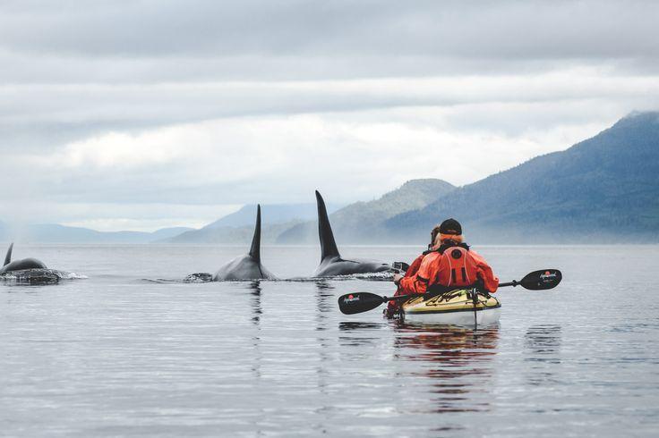 Vancouver Island in Kanada ist bekannt für seine tollen Whale Watching Touren. Das Highlight meiner Tour: Kajaken mit Orcas!