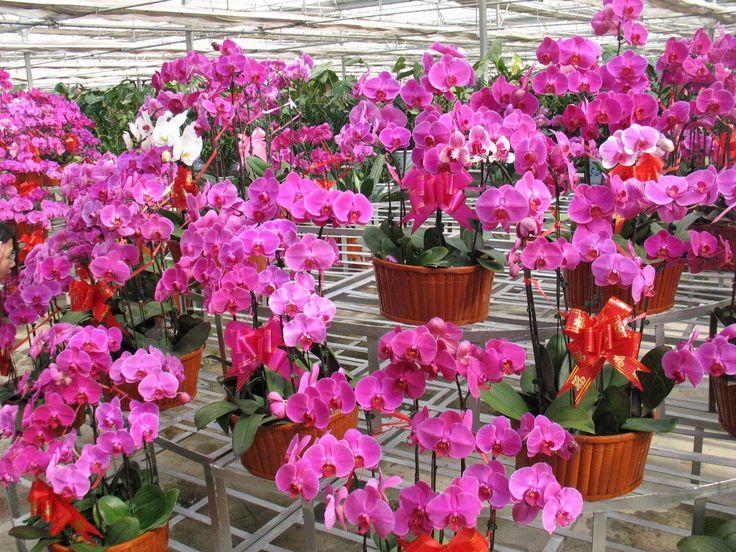 Phalaenopsis orchid plant Fantasztikusan szép lepkeorchidea , könnyen gondozható, lakásban is tartható