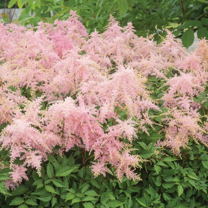 Astilbe Pink Garden Shade Perennials Astilbe