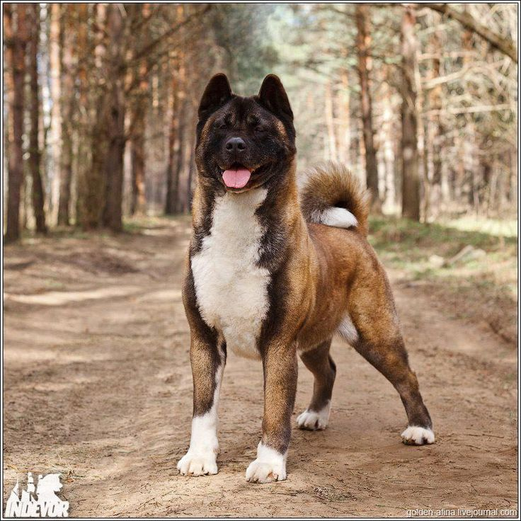 Bred to hunt bear and guard royalty, even the gentlest Akita should be treated as carefully as a 100lb weapon. Keep the safety on! Train her thoroughly and keep her leashed or in your house or fenced yard. If everyone did this, breed restrictions wouldn't be considered.