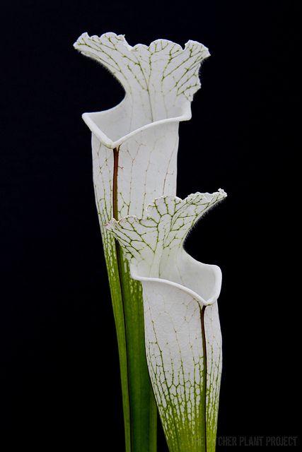~Sarracenias #GardenServicesLondon