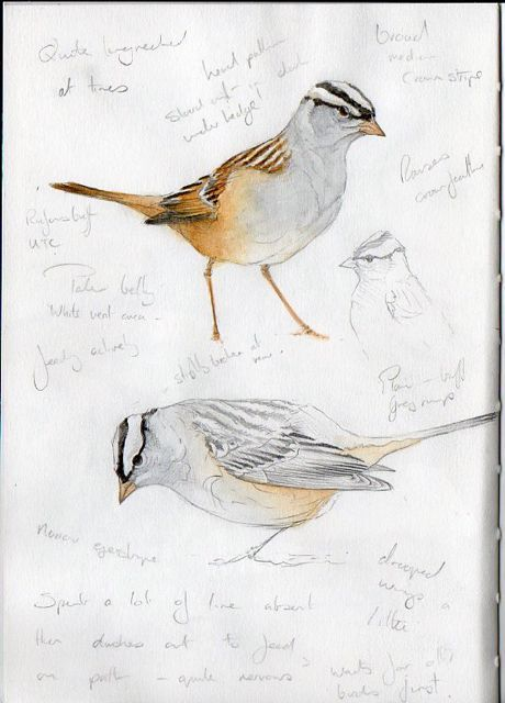 Steph' Thorpe. Bird Artist and Illustrator | Artwork of bird species from the British Isles and beyond (specialist in UK Rare birds)